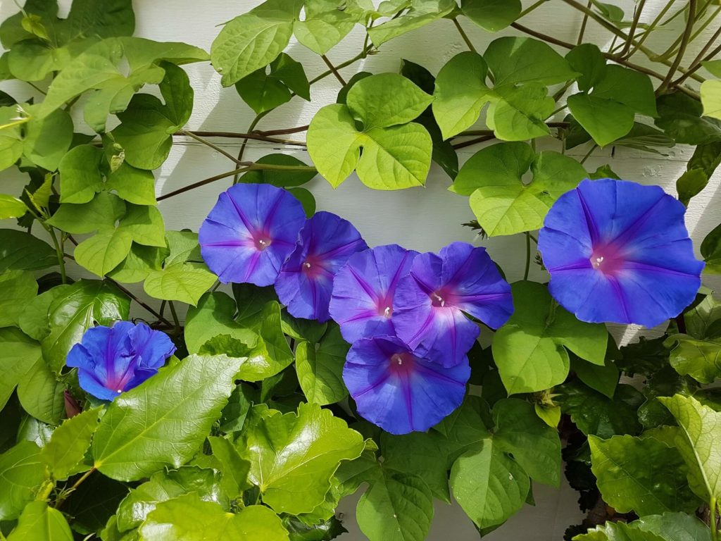 Morning glory, Ipomea in bloom